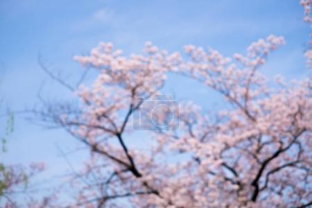 Blurred Cherry blossom scene shot in japan