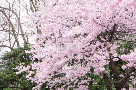 beautiful bright   Cherry blossom