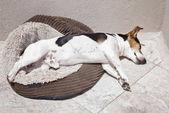 Jack russell kutya alszik a napon