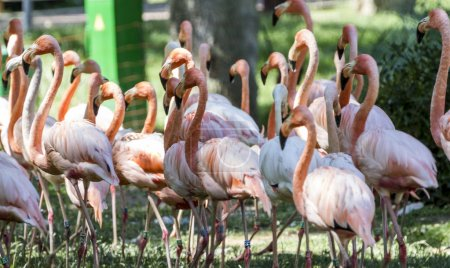 Exotic, beautiful group of flamingos with their long necks and orange colors in the feathers