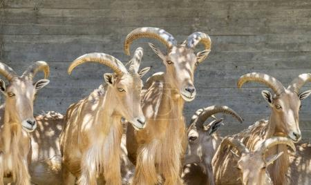 group of mountain goats, Family mammals with large horns