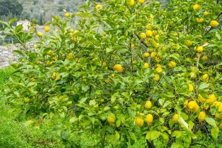 Detail of lemon in bloom with fresh yellow lemons and ready to pick harvest