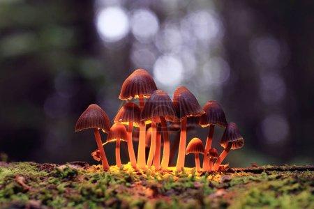 Photo pour Petits champignons vénéneux crapaud groupe de selles psilocybin, macro - image libre de droit