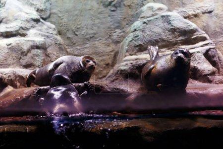 Photo pour Joints d'étanchéité dans un zoo aquarium, animaux - image libre de droit