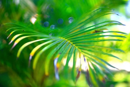 palm  leaf in  the tropics