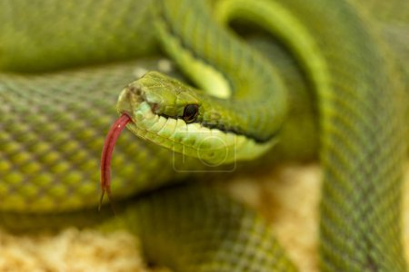 Closeup of a snake with tongue out macro