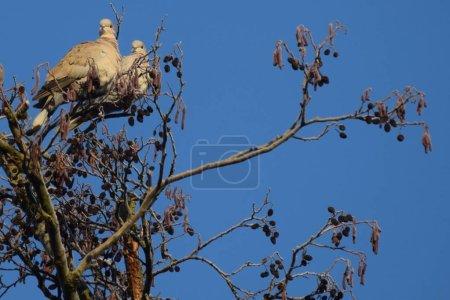 Photo pour Colombes colliers couple dans l'arbre - image libre de droit