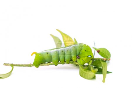 Green butterfly worm on white background