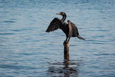 Cormorant spreading its wings on a pole at Celestun reserve, Yucatan, Mexico