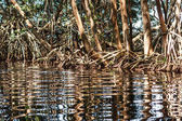 Water reflecting mangrove trees roots at the Celestun reserve, Yucatan, Mexico