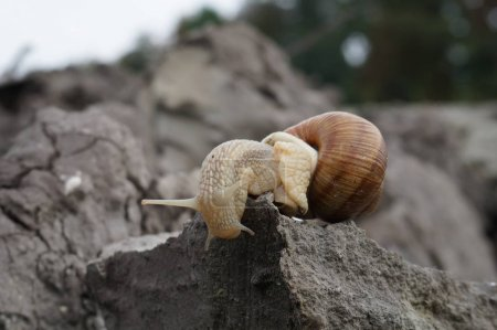 Photo for Edible snail Helix pomatia Burgundy snail Escargot - Royalty Free Image