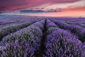 Lavender field summer landscape.Floral background