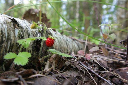 Photo for Birch and strawberries in the forest. - Royalty Free Image