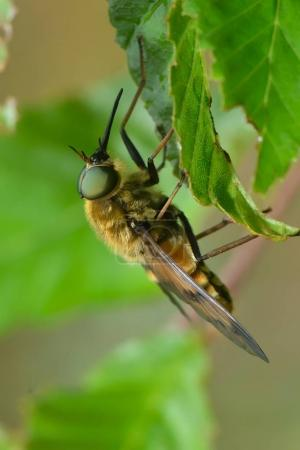 Pale giant horse-fly outdoor