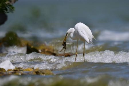 big white egret fishing