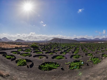 famous vineyards of La Geria on volcanic soil in Lanzarote Islan