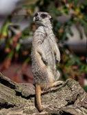 Funny meerkat watching