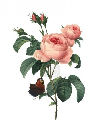 """Photo pour Illustration antique d'une rose centifolia, également connue sous le nom de rose provence, rose chou ou rose de Mai. Gravé par Pierre-Joseph Redoute (1759 - 1840), surnommé """"Le Raphaël des fleurs"""" et artiste officiel de la cour de la reine Marie Antoinette de France . - image libre de droit"""