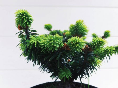 Branch with spruce needles