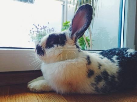 bunny lying down on window sill