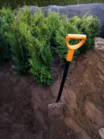 Planting thuja bushes