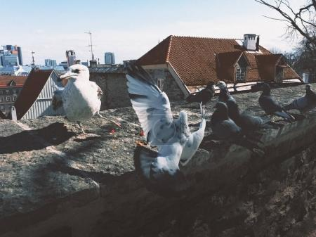 Seagull and pigeons fighting for food in the Old Town of Tallinn