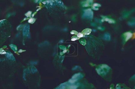 Photo pour Gouttelettes de pluie sur de minuscules feuilles de buisson - image libre de droit