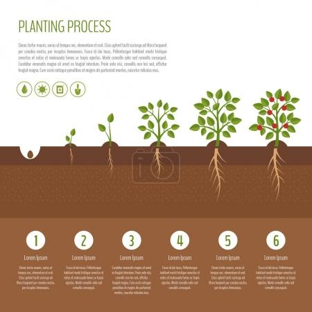 Illustration for Planting tree process infographic. Tree growth. Bush vegetables growth stages.  Steps of plant growth. Business concept. Flat design, vector illustration. - Royalty Free Image