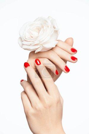 Photo pour Ongles rouges. Mains de femme avec la fleur et manucure rouge. Gros plan des mains féminines avec vernis à ongles rouge et peau lisse douce tenant une Rose blanche sur fond blanc. Nail Art Design. Haute qualité d'Image - image libre de droit