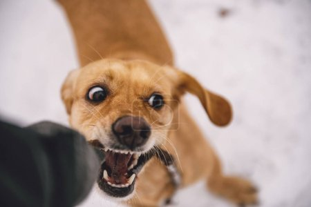 Photo pour Petit jaune chien mordant A bâton - image libre de droit
