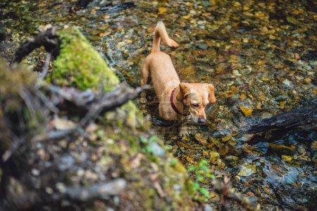 Small yellow dog