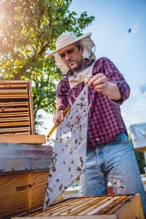 Beekeeper inspecting bees and beehives