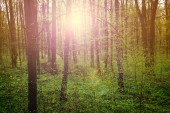 Fairy forest. Nature landscape green forest on spring sunset