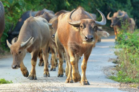 Buffalo walking on the road in countryside of Thailand