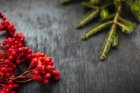 fir and Rowan. Black background. Christmas background. Beautiful photo