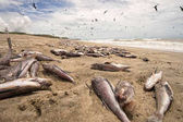dead fish washed up on beach