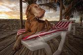 vizsla dog laying on a beach chair