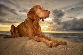 vizsla dog laying on the beach