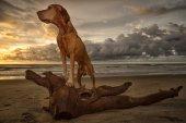 vizsla dog on the beach