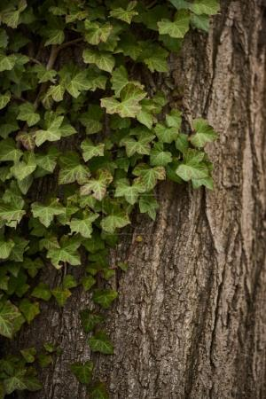 Closeup of green leaves of ivy covering tree trunk