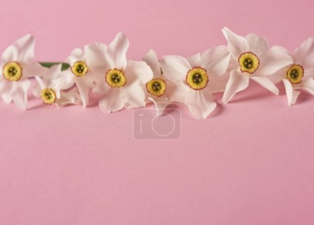 Photo for White beautiful narcissus on pink background. Top view. Minimal concept - Royalty Free Image