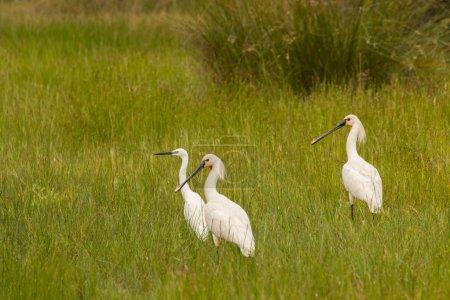 Three pretty white herons