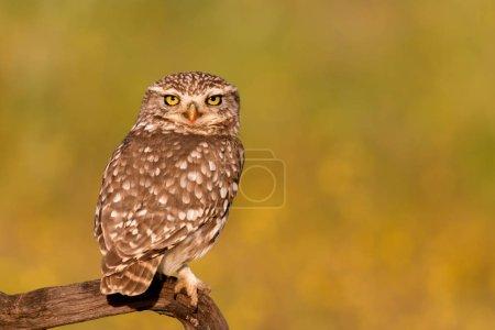 Cute owl in natural habitat