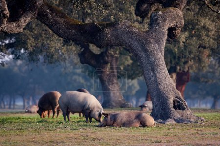 Iberian pigs grazing in meadow