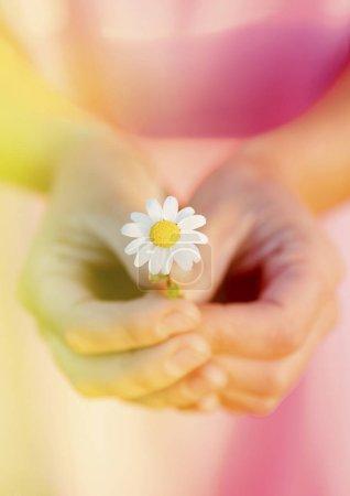 Female hands holding daisy