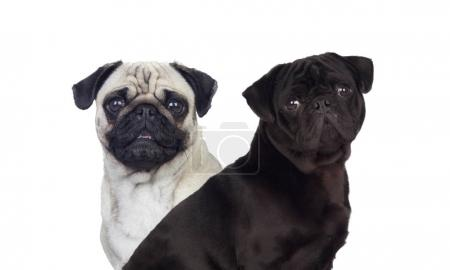 cute white and black pugs