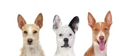 Differents dogs looking at camera with its big ears up