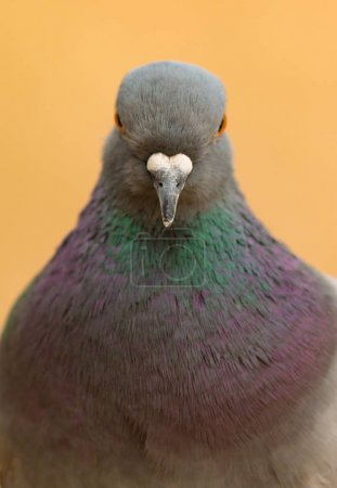wild dove with beautiful feathers