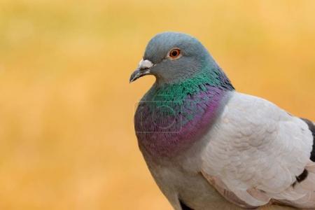 Photo pour Portrait de colombe sauvage avec belles plumes verts et gris - image libre de droit