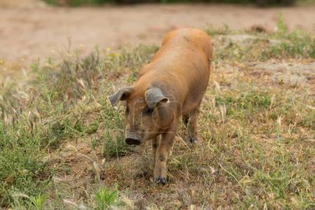 Iberian pig grazing